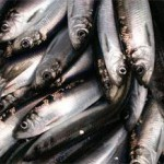 photo of Pacific herring
