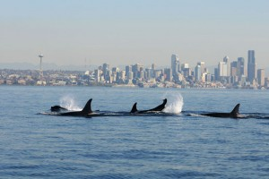 Southern Resident Killer Whales in Puget Sound. Credit: NOAA