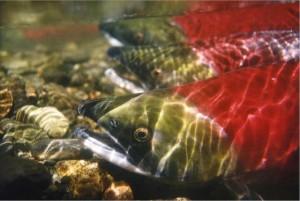 Sockey salmon. Photo courtesy of NOAA.