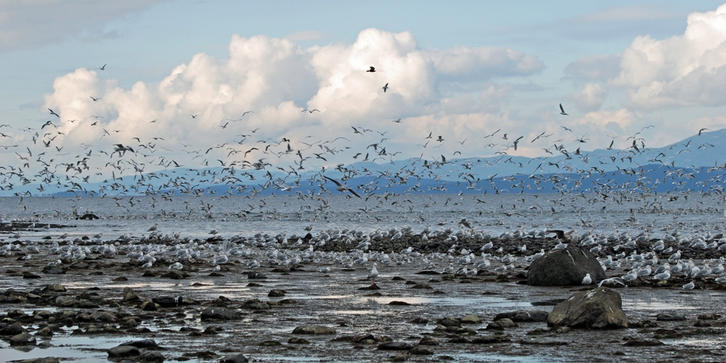 Gulls feeding on herring eggs in Vancouver, B.C. Photo by Guy Monty