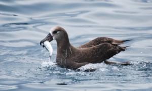 An albatross catches a herring.Langara Fishing Adventures
