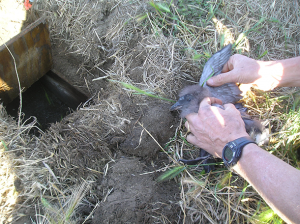 Examining an auklet chick near artificial burrow (Photo: Jeff Rice)