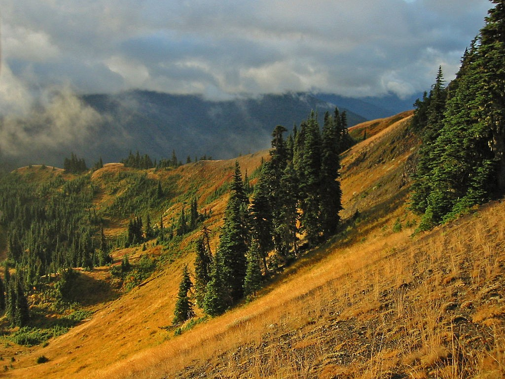 Coast Range Subalpine Fir groves in meadow near Hurricane Ridge Visitor Center, Olympic National Park, WA. Photo: Wsiegmund (CC-BY-SA-3.0) https://commons.wikimedia.org/wiki/File:HurricaneRidge_7392t.jpg
