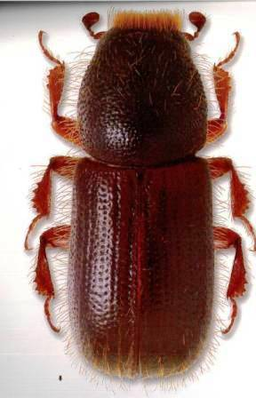 A pine bark beetle is the size of a grain of rice. Photo: WA DNR