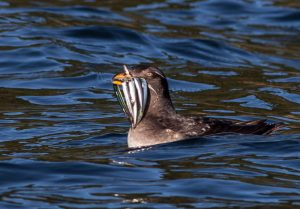 Rhinocerus auklet with sand lance by Phil Green/The Nature Conservancy