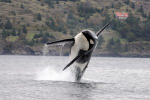 A Southern Resident killer whale leaps into the air. The Southern Residents are an endangered population of fish-eating killer whales. Credit: NOAA