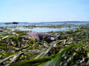 Eelgrass at Alki Beach, Seattle. Report cover photo: Lisa Ferrier