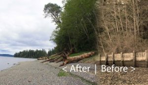 Before and after composite view at the site of a 2013 bulkhead-removal project on the shore of Penrose Point State Park in Pierce County. Composite: Kris Symer, PSI; original photos: Kristin Williamson, South Puget Sound Salmon Enhancement Group