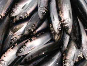 photo of Pacific herring
