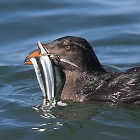 Rhinoceros Auklet. Photo copyright Bob Whitney. Courtesy of BirdNote.