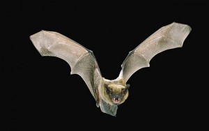 BIG BROWN BAT (Eptesicus fuscus), IN FLIGHT AT NIGHT, ROGUE RIVER NATIONAL FOREST, OREGON