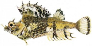 An illustration of the fourhorn poacher (Hypsagonus quadricornis). Copyright: Joseph R. Tomelleri