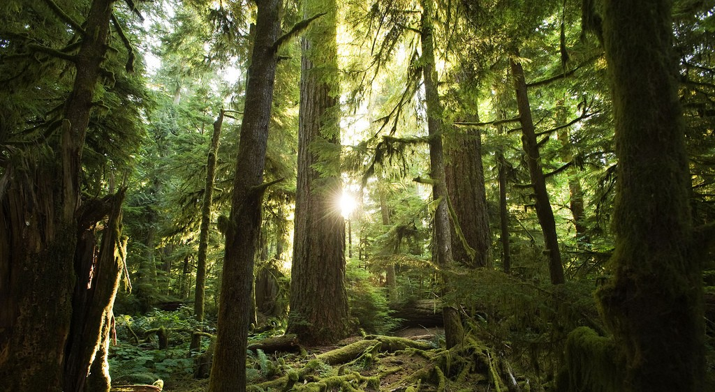 Douglas fir in Cathedral Grove. MacMillan Provincial Park, Vancouver Island, BC. Photo: Sang Trinh (CC BY 2.0) https://www.flickr.com/photos/inottawa/6054591322