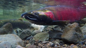 Spawning salmon. FLICKR PHOTO/BLM OREGON (CC BY 2.0)/HTTP://BIT.LY/1IB9A9C
