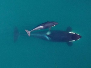 A Southern Resident Killer Whale is about to surface with her young calf. Photo: NOAA Fisheries, Vancouver Aquarium under NMFS research permit and FAA flight authorization.