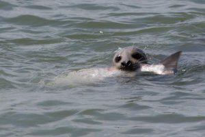 Seal vs Salmon. West End, Vancouver, BC. Photo: cesareb (CC BY-NC 2.0) https://www.flickr.com/photos/cesareb/8620647452