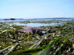 Eelgrass at Alki Beach, Seattle. Report cover photo: Lisa Ferrier
