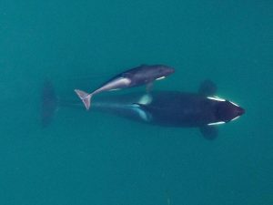 "In this high-resolution image taken from a remotely operated hexacopter, a Southern Resident killer whale named Slick (J16) is about to surface with her youngest calf, Scarlet (J50). Scarlet, born in December 2014, was the first calf in the so-called ""baby boom"" — nine orcas born between December 2014 and January 2016. These images are used to measure the length and width of orcas within an inch or two, allowing for ongoing observations of their physical changes. Photo: NOAA Fisheries, Vancouver Aquarium under NMFS research permit and FAA flight authorization."