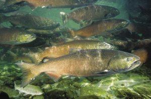 Chinook salmon. Image courtesy of NOAA.