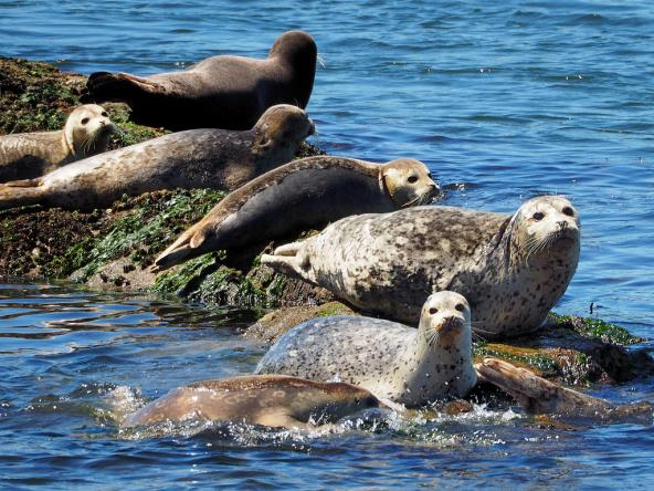 Harbor Seals sunning on intertidal rocks of Puget Sound. Photo: Tony Cyphert (CC BY-NC-ND 2.0) https://www.flickr.com/photos/tony717/14630242564