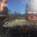 One of the herring rescued by the staff at the Vashon Island Nature Center. Photo courtesy of Amy Carey.