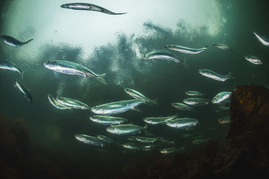 A school of Pacific herring, Clupea pallasii. Photo: National Geographic Creative / Alamy Stock Photo