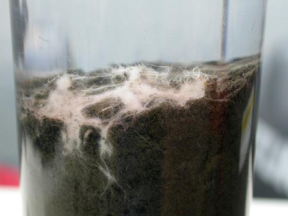 Core sample from Hood Canal showing a cotton-like mat of Beggiatoa bacteria extending above the seafloor. Oct 2006. Photo: Matt Lonsdale