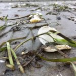 Eelgrass at low tide. Photo by Olivia Graham.