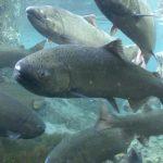 Spring Chinook Salmon. Photo: Michael Humling, US Fish & Wildlife Service
