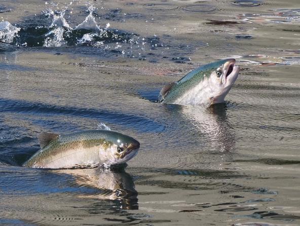 Chinook salmon leaping at the Ballard Locks in Seattle. Photo: Ingrid Taylar (CC BY 2.0) https://www.flickr.com/photos/taylar/29739921130