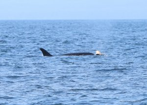 J35 and her calf. Photo courtesy of NOAA.