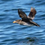 Breeding adult Rhinoceros Auklet flying low above the water. San Juan Islands, WA - July, 2016. Photo: Mick Thompson (CC BY-NC 2.0) https://www.flickr.com/photos/mickthompson/28777858956
