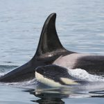 Killer whale with calf. Photo courtesy of NOAA.