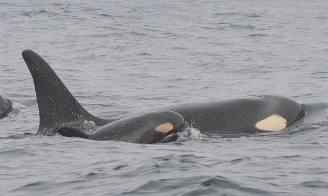 Southern Resident Killer Whales. Photo: NOAA