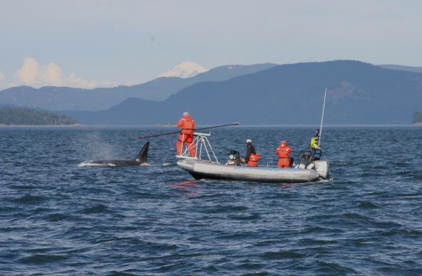 Scientists collect breath samples of an orca using a long pole with petri dishes attached at the end. Photo: Pete Schroeder
