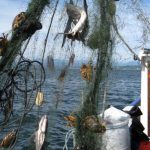 Derelict fishing gear with animal carasses found by the USFWS Puget Sound Coastal Program. Photo: Joan Drinkwin/USFWS https://flic.kr/p/8TX8CQ (CC BY 2.0)