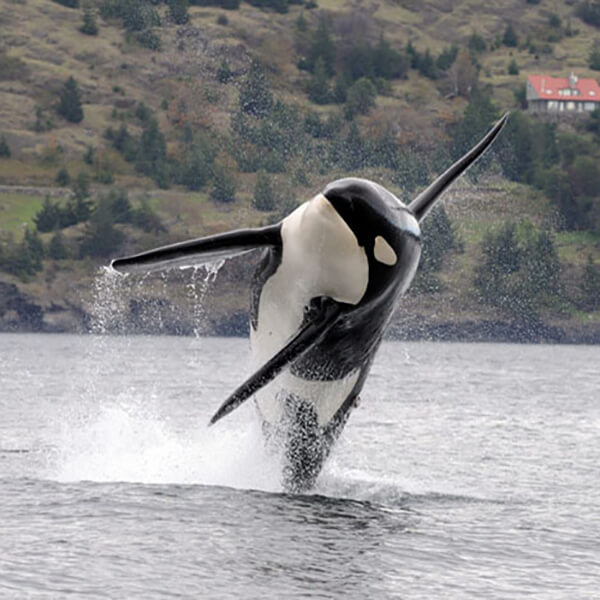 A southern resident killer whale breaches in Puget Sound. Photo courtesy of NOAA.