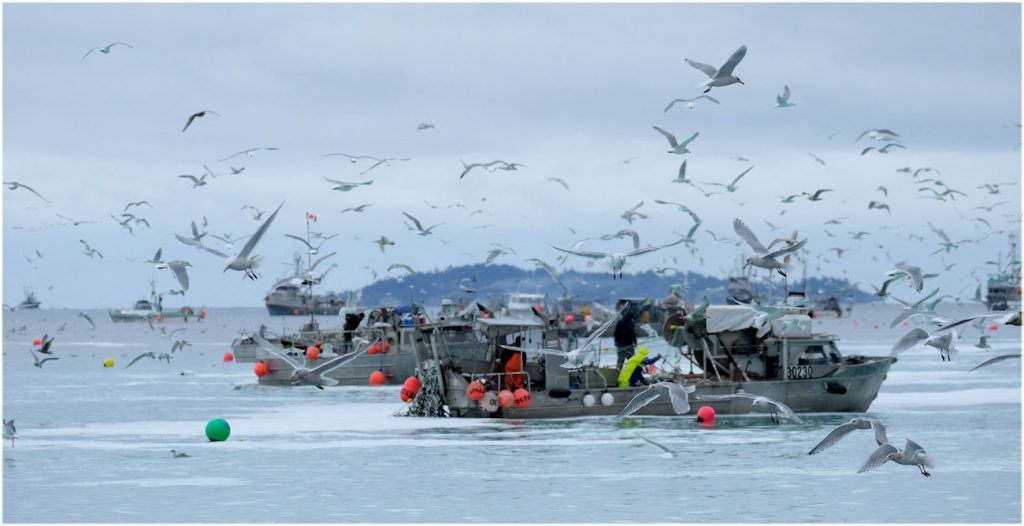 Herring fishing boats in the Strait of Georgia, BC. Photo: marneejill (CC BY-SA 2.0) https://flic.kr/p/23BepQz
