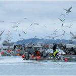 Herring fishing boats in the Strait of Georgia, BC. Photo: marneejill (CC BY-SA 2.0) https://flic.kr/p/23BepQz