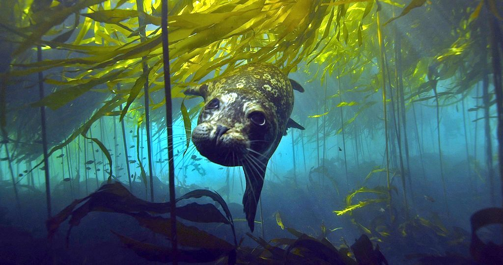 A harbor seal hunts for prey in kelp forests. Photo: Florian Graner (CC BY 2.0)