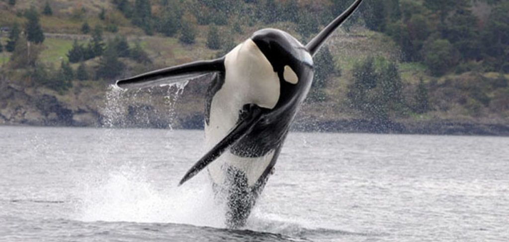 An endangered southern resident orca leaps out of the water in Puget Sound. Photo courtesy of NOAA.