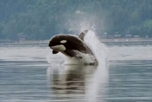 Puget Sound's orcas are among the species experiencing contamination from PCBs.