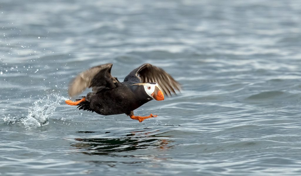 A tufted puffin gets a running start near Smith Island in the Strait of Juan de Fuca, Washington. Photo: Mick Thompson https://flic.kr/p/WSmZnE (CC BY-NC 2.0)